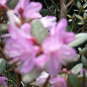 Rhododendron cuneatum F27119