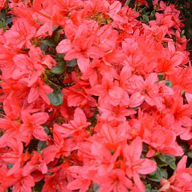 Azalea 'Christmas Cheer (Wilson's 36)'