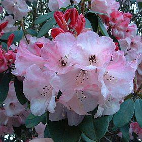 Rhododendron 'Cornish Cross South Lodge form'