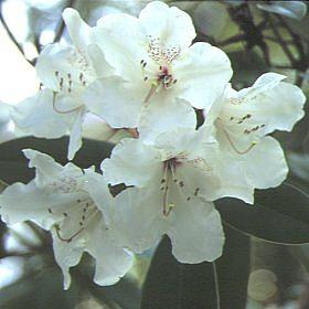 Rhododendron 'Doctor Stocker'
