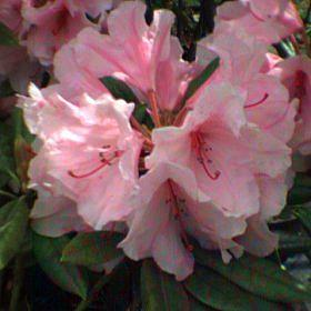 Rhododendron 'wardii x Mrs. Slocock'