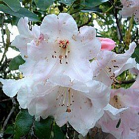Rhododendron 'Halcyon'