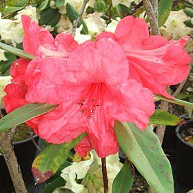Rhododendron 'Laura Aberconway'