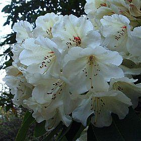 Rhododendron 'Letty Edwards'