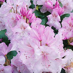 Rhododendron 'Mrs Charles.E. Pearson'