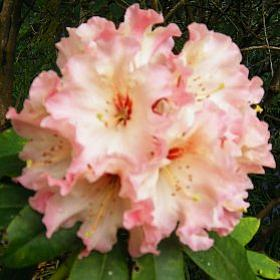 Rhododendron 'Lem's Cameo'