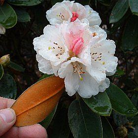Rhododendron pachysanthum