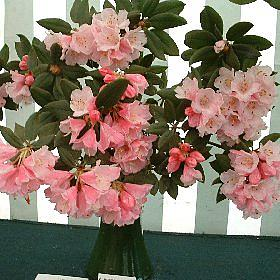 Rhododendron pseudochrysanthum