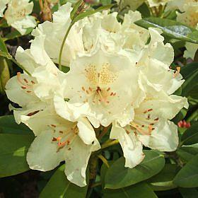 Rhododendron 'Goldsworth Yellow'