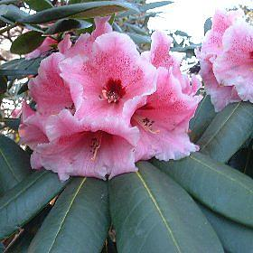Rhododendron 'Lady Linlithgow'
