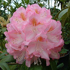 Rhododendron 'Lady Clementine Mitford'