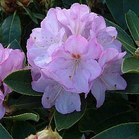 Rhododendron 'Lavender Girl'