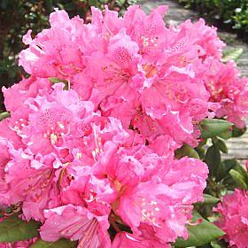 Rhododendron 'Peter Koster'
