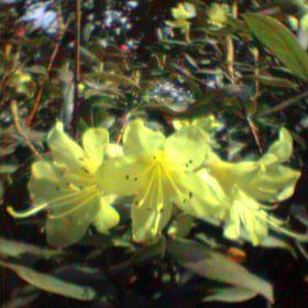 Rhododendron 'Remo'