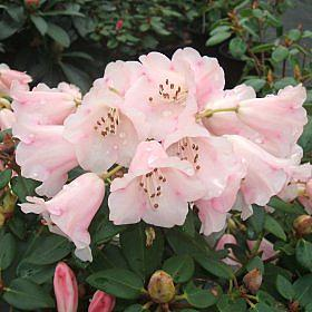 Rhododendron 'Moonstone (Pink Form)'