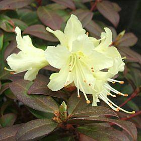 Rhododendron 'Princess Anne'