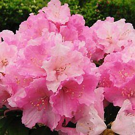 Rhododendron 'Doc'