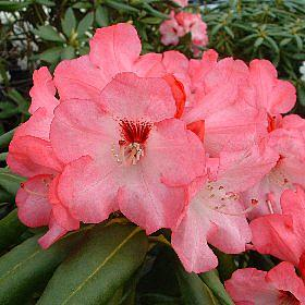 Rhododendron 'General Eric Harrison'