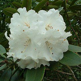 Rhododendron 'Lady Bowes Lyon'