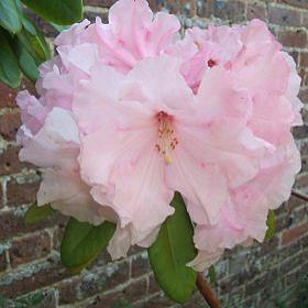 Rhododendron 'The Master'