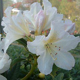 Rhododendron 'Silver Sixpence'