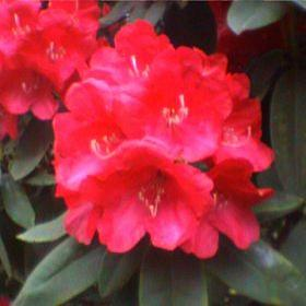 Rhododendron 'Armistice Day'