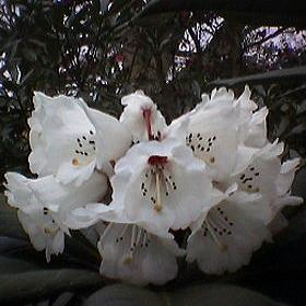 Rhododendron kesangiae (from wild collected seed)