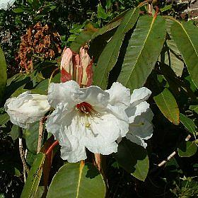 Rhododendron 'Isabella Margaret Falmouth'