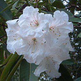 Rhododendron decorum South Lodge form