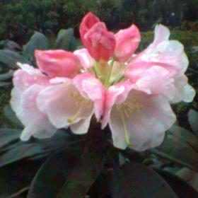 Rhododendron pachysanthum RV.72/001