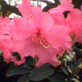 Rhododendron 'Linda'