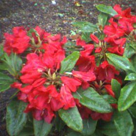 Rhododendron 'Witch Doctor'