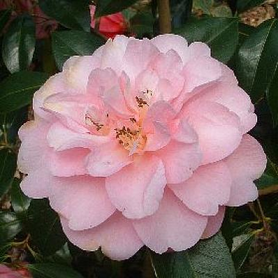 Camellia 'Mildred Veitch'
