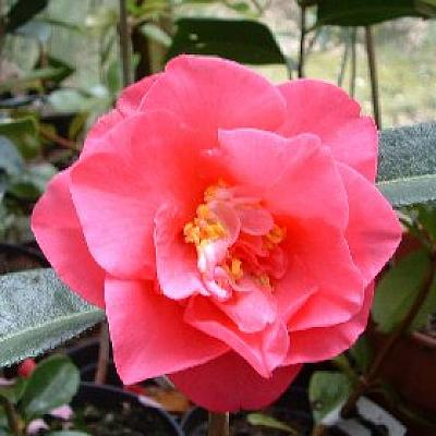 Camellia 'Valley Knudson'