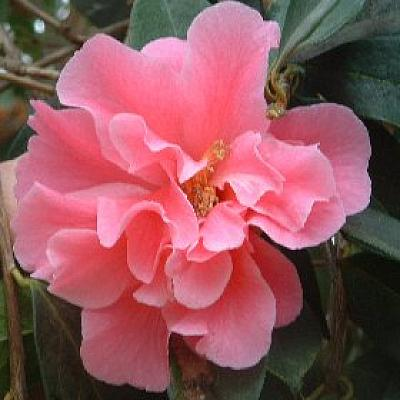 Camellia 'Butterfly Wings'