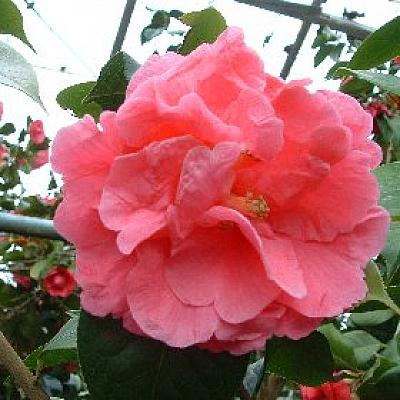 Camellia 'Ming Temple ( Imperial Chang )'