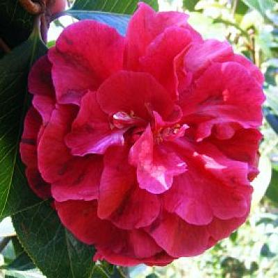 Camellia 'Purple Gown'
