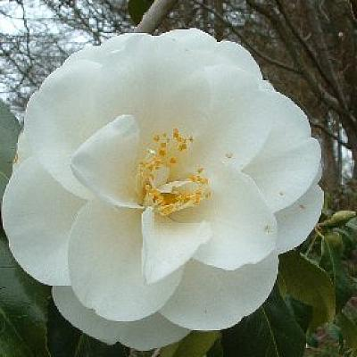 Camellia 'China Clay'