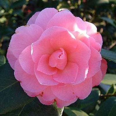 Camellia 'Chatsworth Belle'