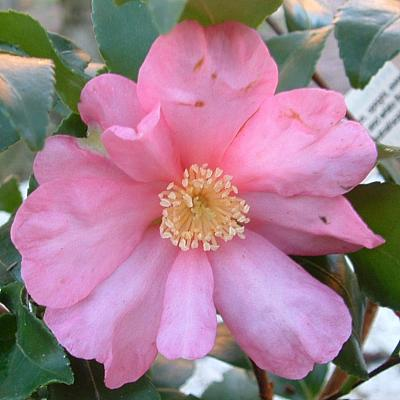 Camellia 'Borde Hill Form'