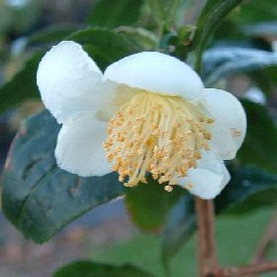 Camellia sinensis The Tea bush