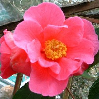 Camellia 'Brilliant Butterfly'