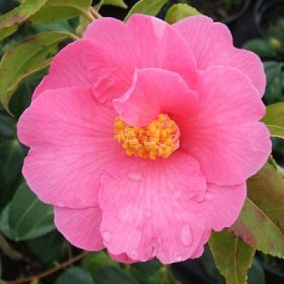 Camellia 'Carolyn Williams'