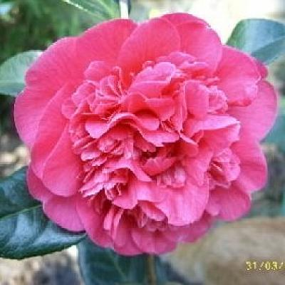 Camellia 'Anticipation'