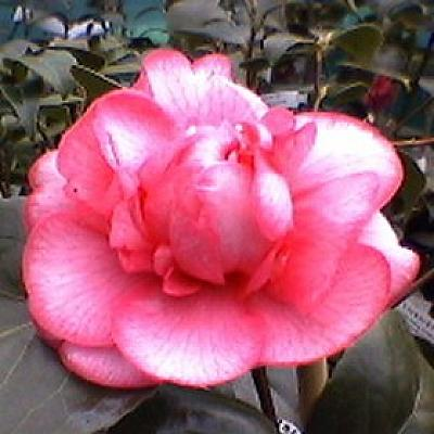 Camellia 'Can Can'