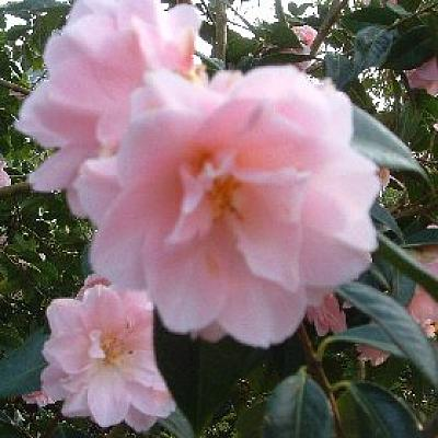 Camellia 'Citation AM'